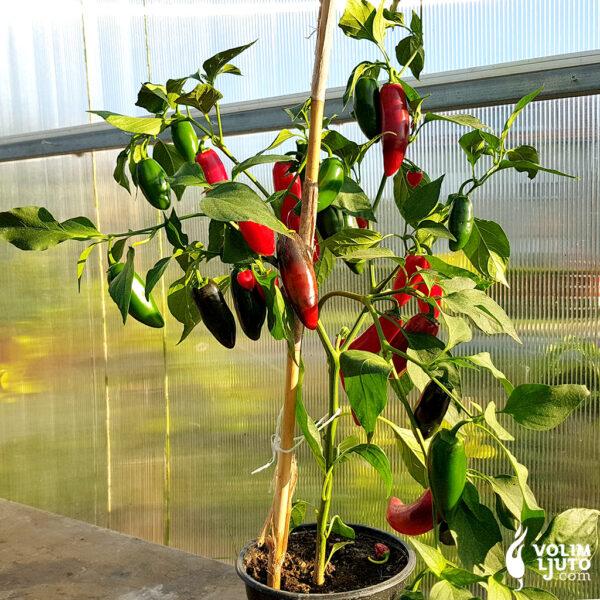 Jalapeno Craig's Grande - Sjemenke chili papričica 4