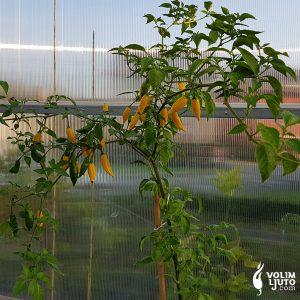 Aji Pineapple - Sjemenke chili papričica 6