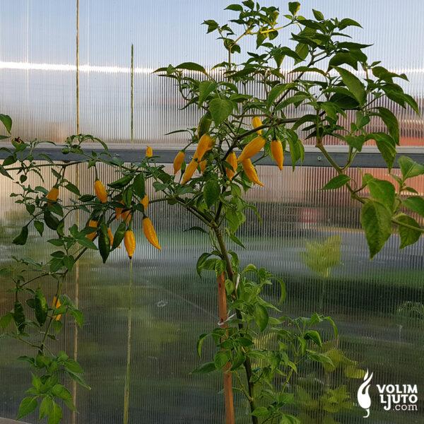 Sadnice chili papričica dostupne na OPG-u 1