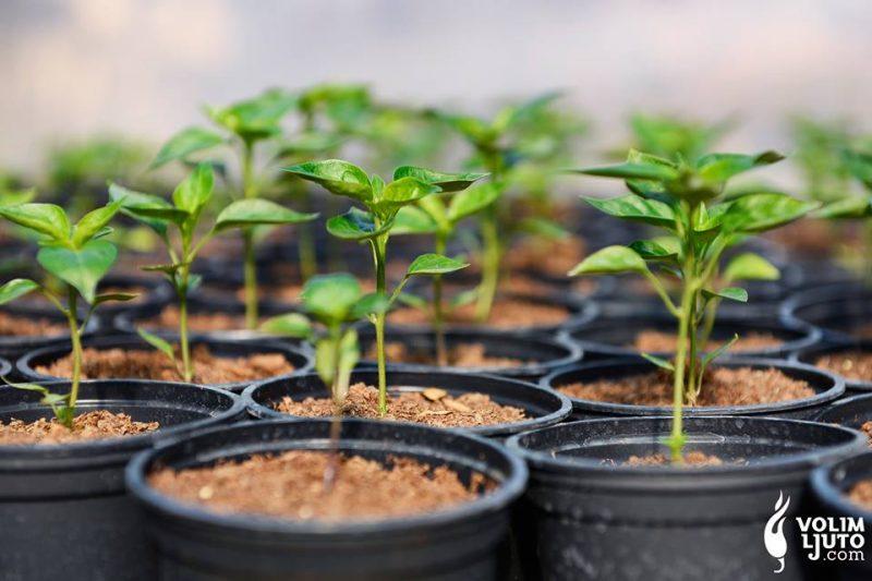 Odgovori na sva pitanja o uzgoju ljutih papričica iliti ljuti FAQ 2