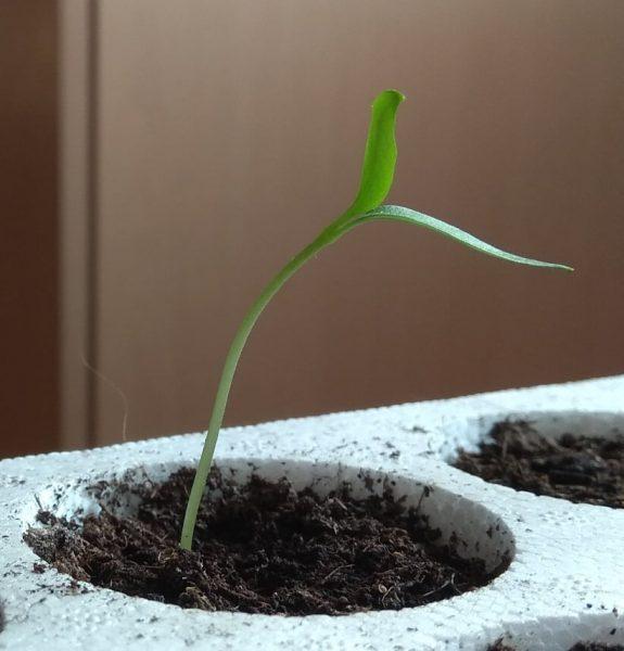 Odgovori na sva pitanja o uzgoju ljutih papričica iliti ljuti FAQ 3