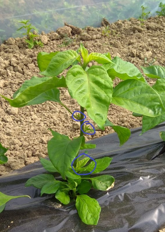 Uzgoj chili papričica na balkonu
