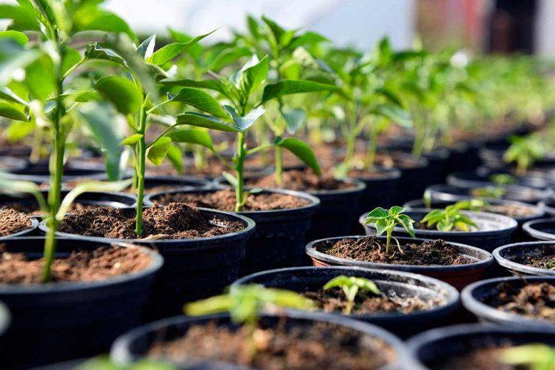 Uzgoj chili papričica na balkonu 2