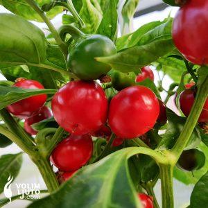 Devil's Lamb Heart - Sjemenke chili papričica 5