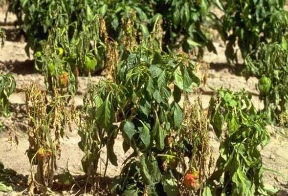 Ultimativni vodič za uzgoj chili papričica 28
