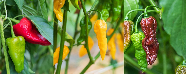 Svježe chili papričice - VolimLjuto.com