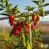 Bhut Jolokia Red - Sjemenke chili papričica 1