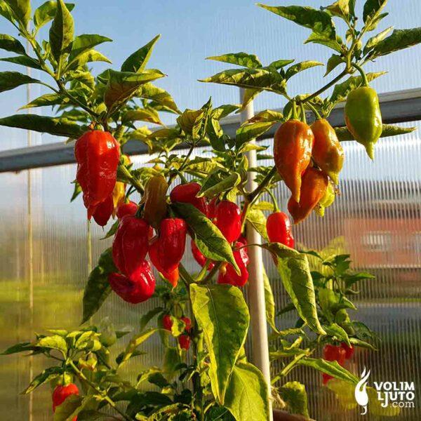 Bhut Jolokia Red - Sjemenke chili papričica 3
