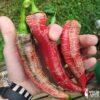 Makedonska Vezenka - Sjemenke chili papričica 1
