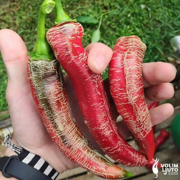 Makedonska Vezenka - Sjemenke chili papričica 3