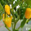 Aji Limo - Sjemenke chili papričica 2