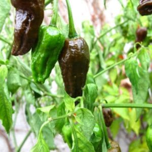 Bhut Jolokia Chocolate sadnica chili papričice 23