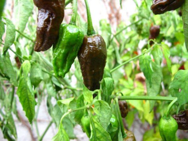 Bhut Jolokia Chocolate sadnica chili papričice 11
