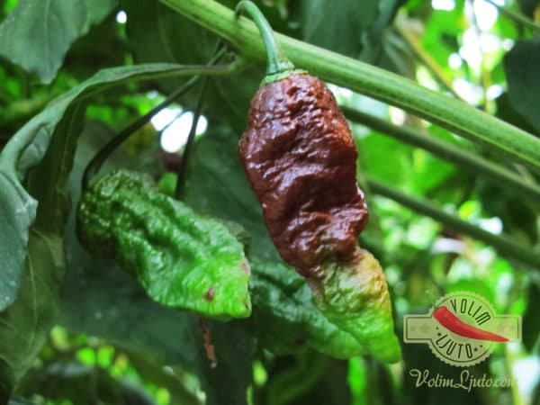 Bhut Jolokia Chocolate sadnica chili papričice 14