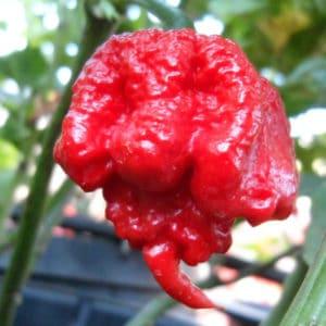 Carolina Reaper sadnica chili papričice 12