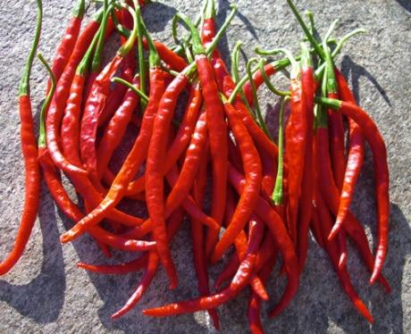Cola de Rata sadnica chili papričice 3