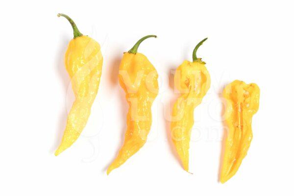 Fatalii sadnica chili papričice 3