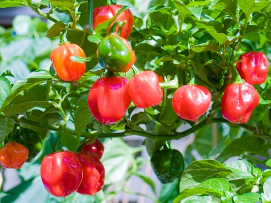 Chili papričice produžuju život? 1