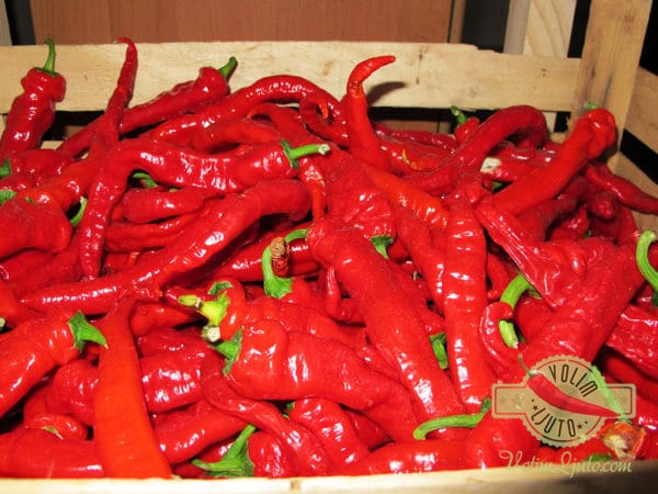 Hot Portugal sadnica chili papričice 3