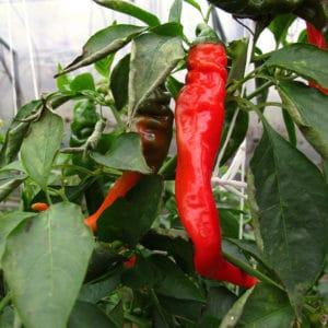 Hot Portugal sadnica chili papričice 17