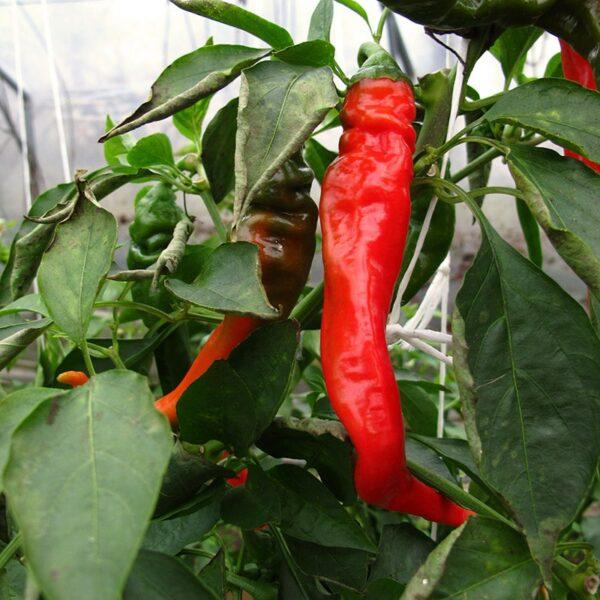 Hot Portugal sadnica chili papričice 9