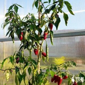 Jalapeno sadnica chili papričice 19