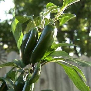Jalapeno sadnica chili papričice 20