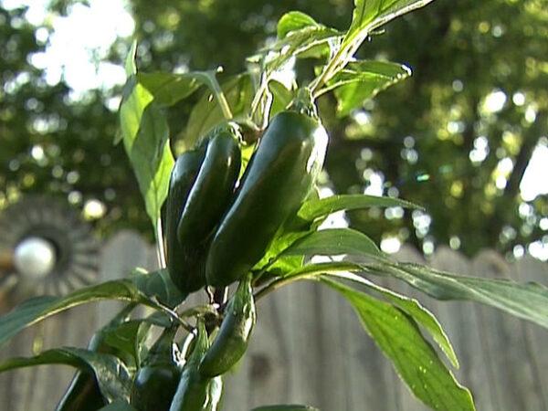 Jalapeno sadnica chili papričice 10