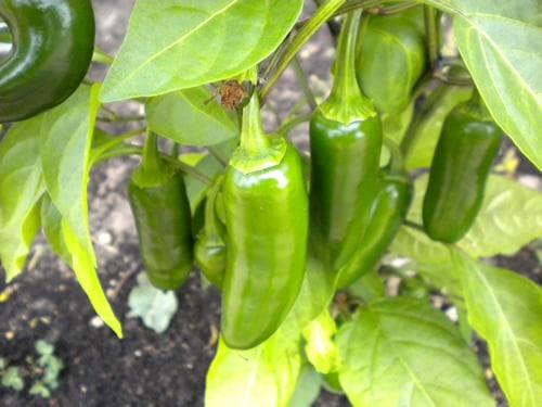 Jalapeno sadnica chili papričice 11