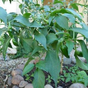 Jalapeno sadnica chili papričice 22