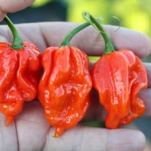 Naga Viper sadnica chili papričice 12