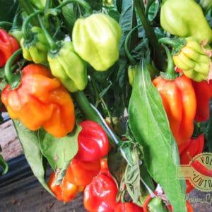 Red Savina Habanero sadnica chili papričice 13