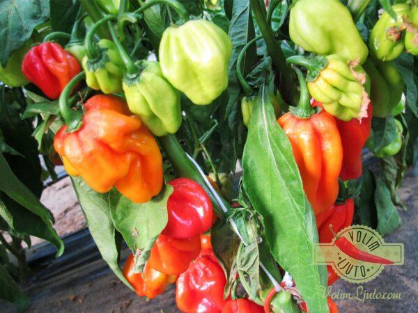 Red Savina Habanero sadnica chili papričice 8