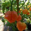 Trinidad Scorpion Yellow sadnica chili papričice 2