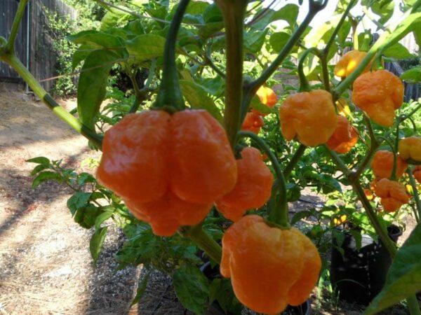 Trinidad Scorpion Yellow sadnica chili papričice 3