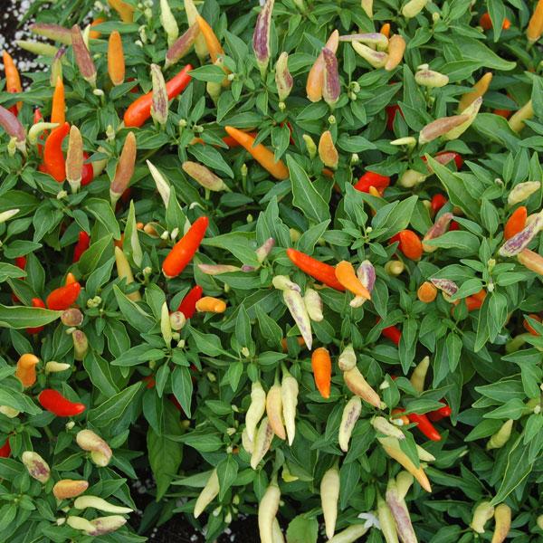 Tabasco sadnica chili papričice 5