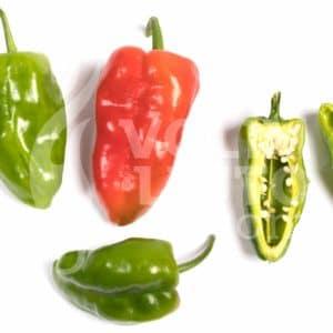 Sadnice chili papričica / presadnice chili paprike 17