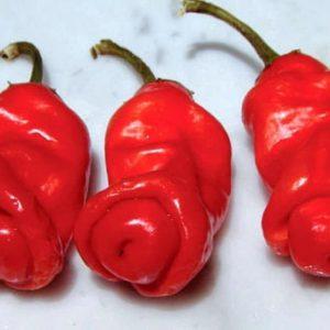 Sadnice chili papričica / presadnice chili paprike 21