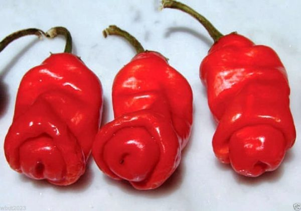 Peter Pepper sadnica chili papričice 3